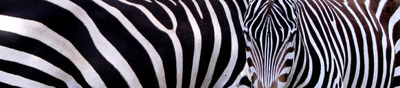 A herd of Zebras aclimate to their new surroundings in