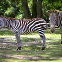 Zebras at Disney's Animal Kingdom