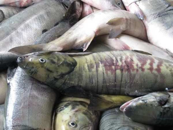 Global warming may cause fish sizes to shrink