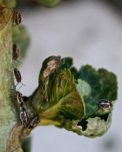 These are Bagrada bugs on Vic and Lou's Brussels sprouts. They are tiny, only a few millimeters long, not much bigger than lady bugs.