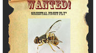 State agricultural officials have declared war on the Oriental fruit fly in the Santa Clarita Valley after five flies were trapped there over two days last month.
