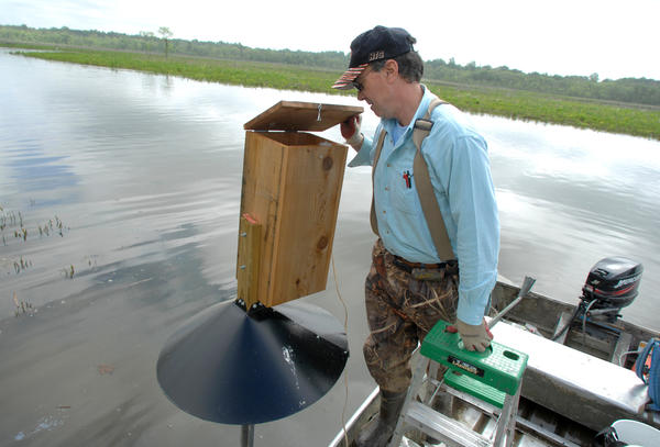 Cliff Brown, executive director of the Maryland Wood Duck Initiative, surveys a wood duck box on the Patuxent River near Upper Marlboro.