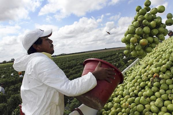 A worker harvests tomatoes on a farm in Homestead, Fla., in 2010. Growers in Florida have accused Mexican farmers of dumping tomatoes in the U.S. market.