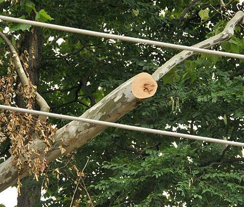 Detail of an overhanging limb of a sycamore tree trimmed to clear power lines near BGE offices on York Road following the derecho.