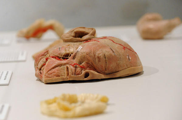 Muscles of Mastication, tongue, and taste buds are on display during the Bodies Revealed, an exhibit that takes a closer look at the skeletal, muscular, respiratory, and other systems of the human body at the Da Vinci Science Center in Allentown October 03, 2012. The exhibit has 185 specimens, including 12 full bodies. The exhibition will open to the public on Saturday, October 6.