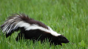 Skunks moving into Aberdeen