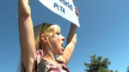 SAN DIEGO -- People for the Ethical Treatment of Animals staged a demonstration at SeaWorld San Diego Wednesday to protest the park's whale-management policies in the wake of an incident that left an 11-year-old killer whale with a gaping lower-jaw injury.