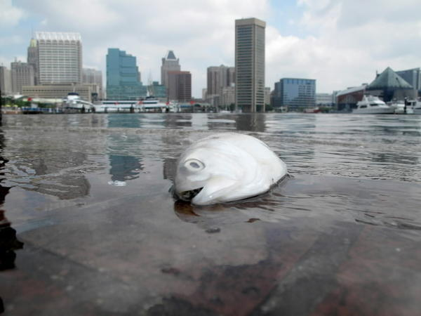 Visitors to Inner Harbor confronted with dead fish and stinky algae bloom last May. Latest report card says harbor's health still poor, but efforts to change that starting to grow.