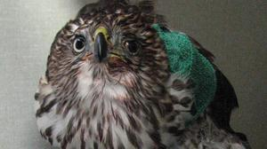 Seattle police: Man found strangling hawk in park