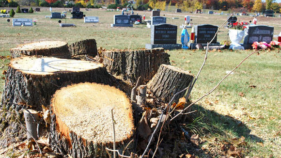 Stumps remain where a cluster of large basswood trees was cut down at Resurrection Cemetery this week.