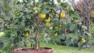 Citrus trees, once confined to locations such as California and Florida, have become viable options for gardeners just about everywhere.