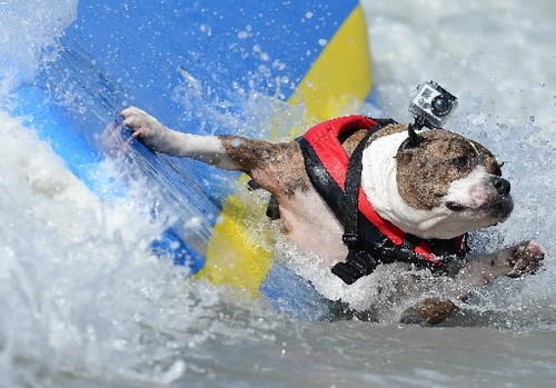 Dogs are catching waves during the Surf City Surf Dog contest in Huntington Beach September 30, 2012.