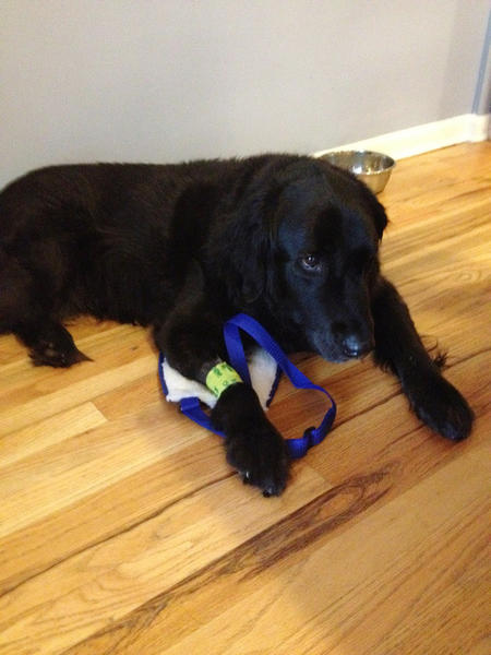 Rosey, a 10-year-old black lab mix, was injured by a hit-and-run driver in Wicker Park.