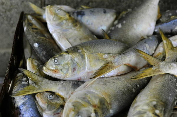 Catches of Atlantic menhaden along the East Coast could be cut under a plan now being reviewed by the Atlantic States Marine Fisheries Commission.