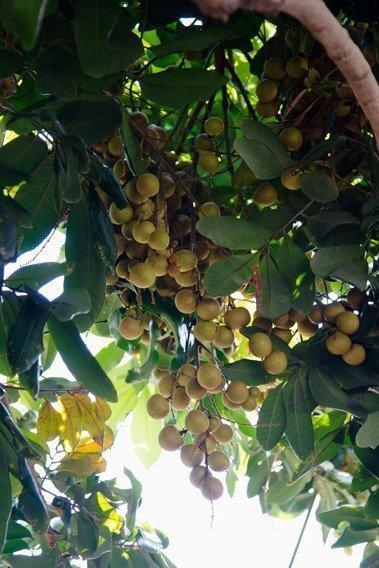 Clusters of longan fruit hang by the dozens on the Huang family tree in Long Beach, partially hidden by the tree's dense canopy. The fruit looks unspectacular on the outside but holds a surprise within.