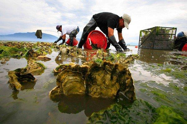 Workers harvest oysters in Samish Bay, Wash., at low tide. Scientists have found that the rising acidity of the oceans is preventing the protective shells of some Pacific oysters from developing.