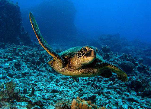 A green sea turtle is ready for its closeup in Honaunau Bay.