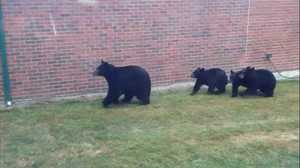 Bears force temporary lockdown of elementary school