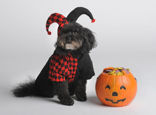Is your pup a funny little rascal? This jester costume, modeled by Teddy Bean, could be appropriate. Find it for $17.99 at Pet Valu.