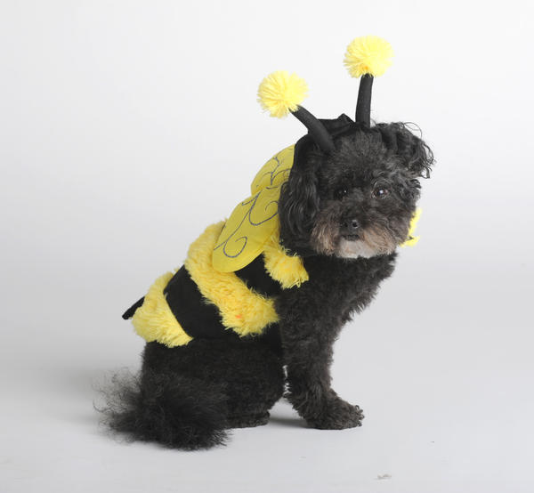 The bee is expected to be the No. 5 most popular pet costume in the country this year, according to the National Retail Federation. Find this version by Top Paw, modeled by Teddy Bean, at PetSmart for about $12.