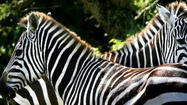 Zebras are being reintroduced slowly to Disney's Animal Kingdom theme park, where they will be the new finale of the Kilimanjaro Safaris attraction that carries guests through an Africa-inspired savanna.