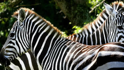 Zebras return to Disney's Animal Kingdom