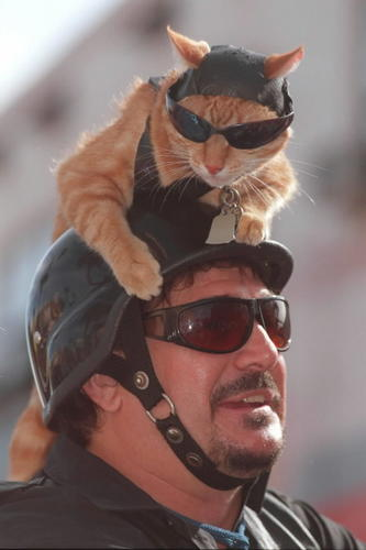 <b>Bike Week pictures:</b> Toby the tabby is the iconic Bike Week feline, decked out and ready to ride with owner Ted Townsend of Ormond Beach in 1997.