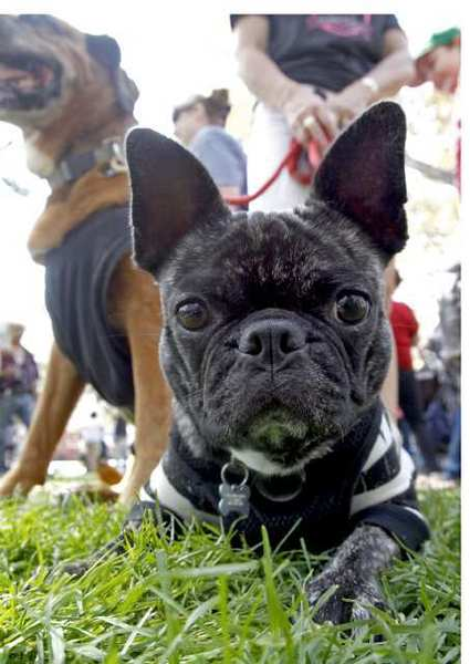Bugg the Pug, owned by Carol De Pompa, takes a break on the grass during last year's K-9's in the Park at Verdugo Park in Glendale.
