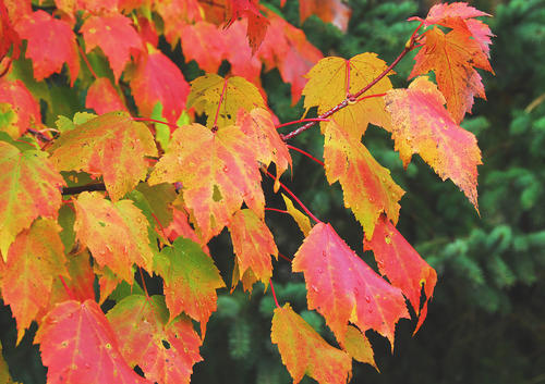 A branch of rain-soaked maple leaves glow with color Thursday.  This weekend will likely be the last good weekend for fall color as the past week of rain has brought many leaves to the ground.