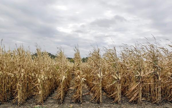 Unharvested corn stands south of Council Bluffs, Iowa, as the worst drought in decades persists. Some climate scientists are breaking with mainstream thought and linking weather to climate change.