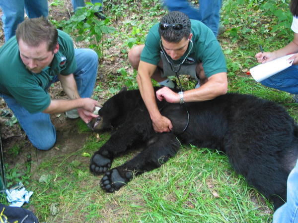 Paul Peditto, right, director of the Maryland Department of Natural Resources Wildlife & Heritage Service, assesses the health of a sedated black bear that had been trapped and tagged in Western Maryland. At left is game mammal project leader Harry Spiker.