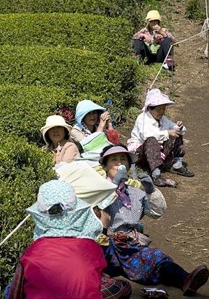 Women painstakingly harvest tea.