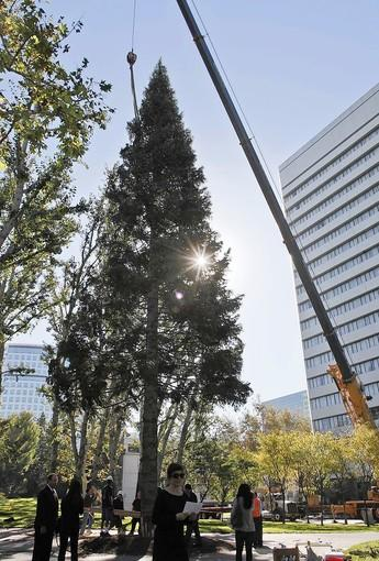 Crew members from Victor's Custom Christmas Trees, Inc. hoist a 96 foot white fir from Mt. Shasta into place at South Coast Plaza's Town Center Park in Costa Mesa in preparation for the upcoming holiday season.