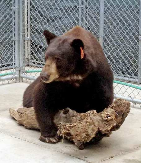 'Meatball' straddles a log inside his enclosure at the wildlife sanctuary in Alpine, Calif.