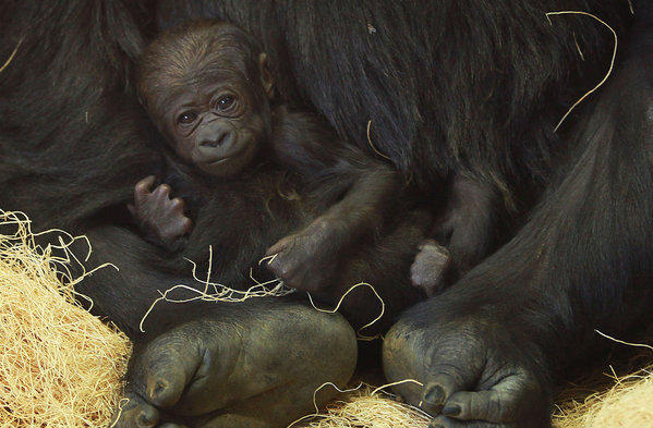 A new baby western lowland gorilla is held by its mother at Lincoln Park Zoo in Chicago.
