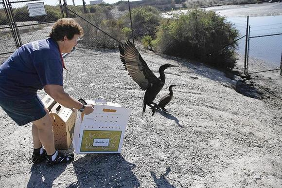 Sheila Eberly with the Wetlands and Wildlife Care Center releases two cormorants at the Talbert Marsh on Monday.
