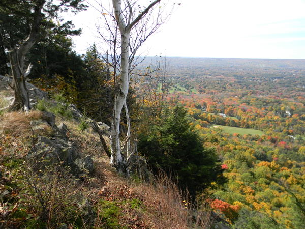 A white birch stands at the edge of a traprock ridge.