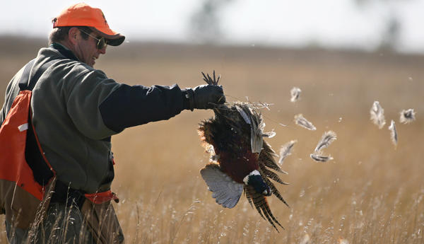 Handy tips for pheasant hunters townnews aberdeennews for Kmart fishing license