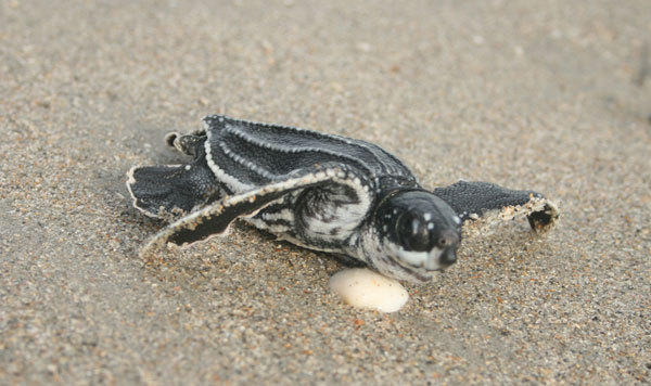 SEA TURTLES  Loggerhead, green and leatherback (pictured) sea turtles crawl out of the ocean to dig nests and deposit eggs.  When: May through October  Where: All beaches, but turtles laying eggs are not to be disturbed. Consider organized turtle walks at Gumbo Limbo Nature Center in Boca Raton and Loggerhead Marine Life Center in Juno Beach.