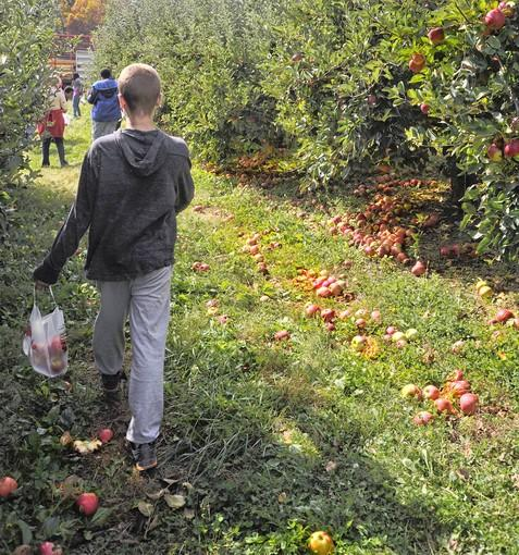Apples are everywhere as one student at the Forbush School walks through Baugher's orchard with a bag he's just picked during a field trip to Westminster on Oct. 17.  Baugher's hosts tours and field trips for schools from Carroll County and elsewhere, and is currently hosting weekend events as part of its fall harvest.