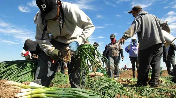 Field workers harvest green onions
