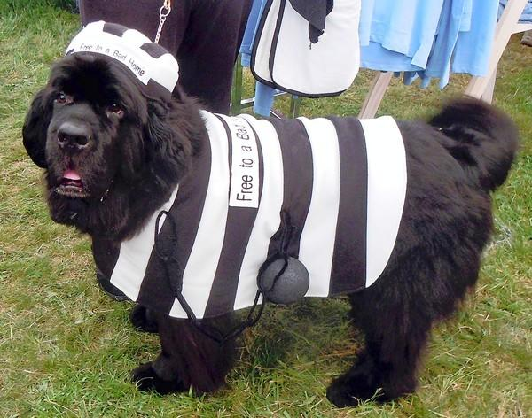A Newfoundland is dressed as a convict as at recent dog event.