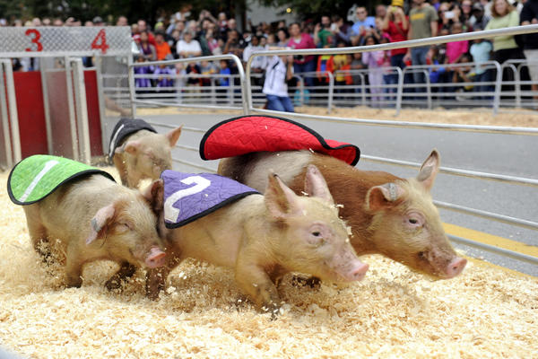 The annual Racing of the Pigs is a favorite of festival goers at the Pigtown Festival.