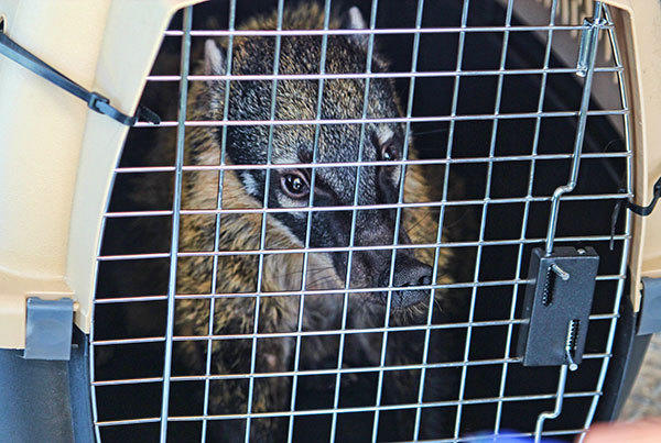 A Kinkajou, and a Coatimundi, pictured, whose owner drove up from Key West to surrender her pets that need a lot of attention and are of type that were never before seen by the FWC's program.