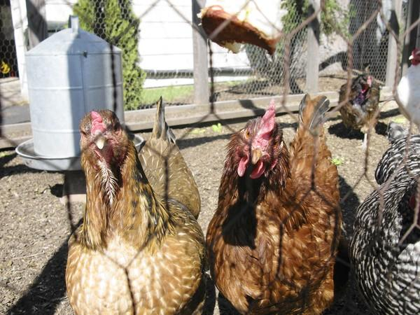 Elmhurst officials are considering allowing home chicken coops.