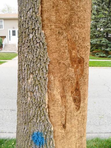 Tinley Park resident John Lynch's ash tree in September after the outer bark was pulled aside to reveal emeral ash borer larvae trails on the inner bark.
