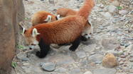 Photos: Baby Red Pandas