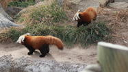 Baby red pandas on display at Sedgwick County Zoo