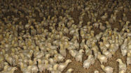 Verdict put off in poultry pollution lawsuit