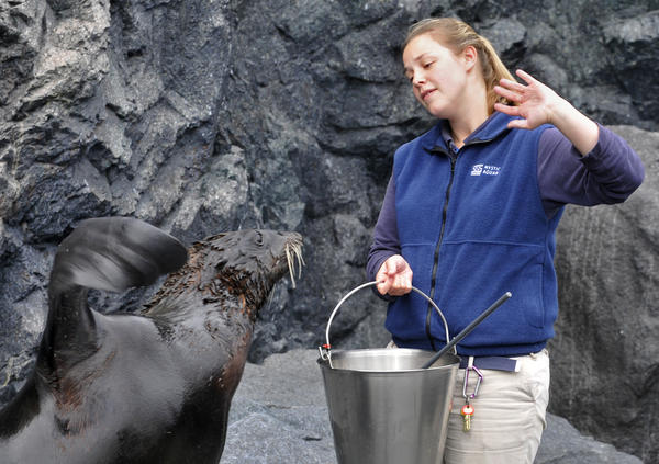 Marine mammal trainer Melissa Carle works prompts a northern fur seal named Jack to wave at Mystic Aquarium Thursday. Jack was one of two northern fur seals that arrived from New York Aquarium two weeks ago.